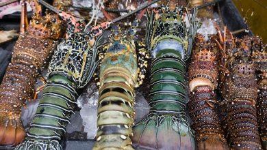 Photo of Bisnis Lobster di NTB Berpotensi Datangkan Uang Rp 200 Miliar per Tahun